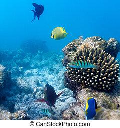 ecossistema, de, tropicais, recife coral, maldives