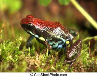 Ecuadorean poison frog (Ameerega bilingua)