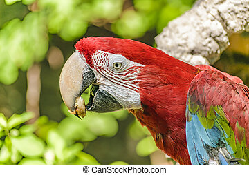 Ecuadorian Parrot at Zoo, Guayaquil, Ecuador - Close up shot...