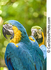 Ecuadorian Parrots, Guayaquil, Ecuador - Close up shot of...