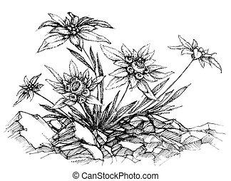 edelweiss, χαράζω με οξύ μεταλλική πλάκα