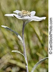 Edelweiss Alpine flower