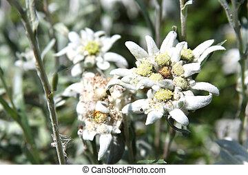 Rare alpine flower - Edelweiss or Leontopodium alpinum