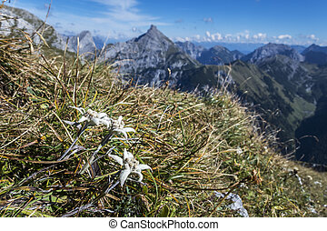 edelweiss flower in the karwendel alps