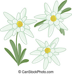 Edelweiss flowers collection on white background. Vector Illustration