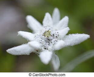 edelweiss in nature