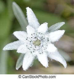 Edelweiss in nature. Rare alpine flower.
