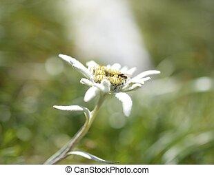 edelweiss, ind, nature., sjælden, alpine, flower.