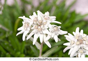 edelweiss leontopodium alpinum flower heads in front of green