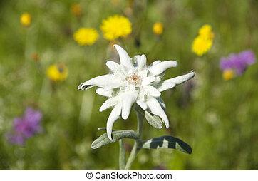 edelweiss leontopodium alpinum flower in alpine meadow