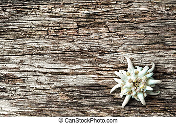 Edelweiss (leontopodium alpinum) on wooden background