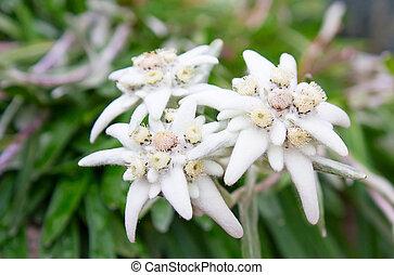 Wild edelweiss flower (Leontopodium alpinum)