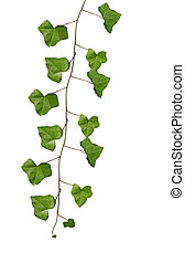 Sempreverde ramoscelli isolato fondo bianco edera for Edera sempreverde