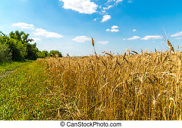 edge of a yellow wheat field on sunny day