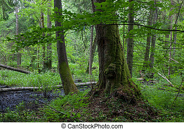Edge of alder-carr wet stand of Bialowieza Forest - Old moss...