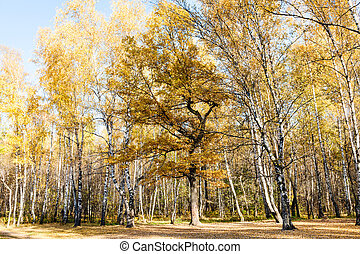 edge of birch and oak forest in autumn