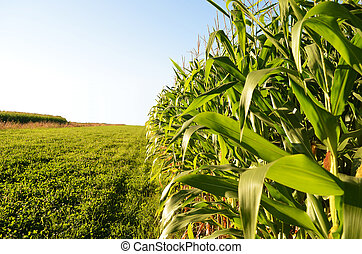 Edge of corn field with a bright blue sky at sundown.