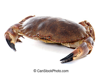 edible brown crab in front of white background
