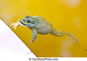 Edible frog in pond