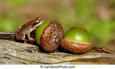Edible Frog on acorn on a green background
