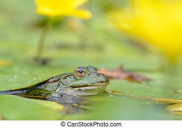 Edible frog, Pelophylax esculentus