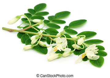 Edible moringa flower with leaves over white background