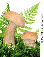 edible mushroom - Boletus edulis
