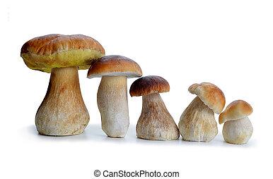 Edible mushroom Boletus