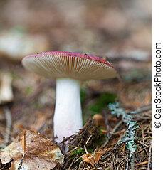edible mushroom closeup