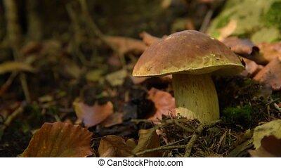 edible mushroom in the forest - Boletus edulis edible...