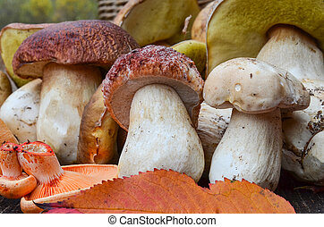 Close up view of a bunch of autumn edible mushrooms, mostly Boletus Edulis and a few Lactarius Deliciosus on a wooden surface of an old oak table