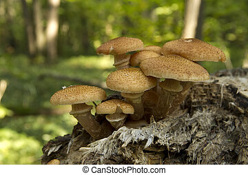 edible mushrooms in the forest