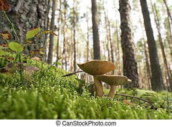 Edible mushrooms in the forest on a sunny day.