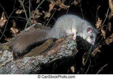 Edible or Fat dormouse, Glis glis, single mammal on branch