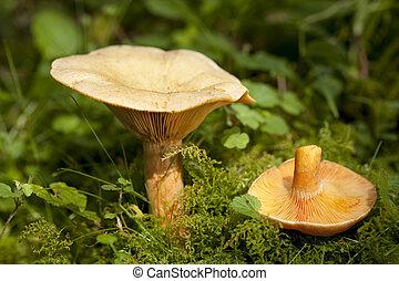edible orange mushrooms (Lactarius deterrimus) in forest