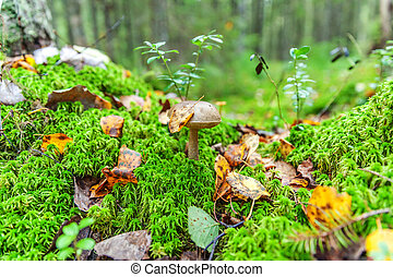 Edible small mushroom with brown cup Penny Bun leccinum in moss autumn forest background. Fungus in the natural environment close up