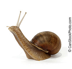 Edible snail on the white background