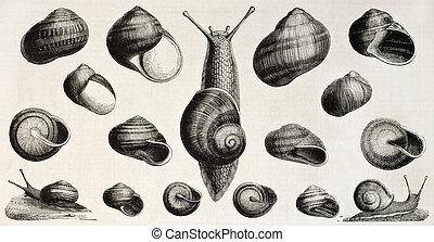 Edible snails old illustration (Helix pomatia, aperta, aspersa, vermiculata, lactea, pisana, nemoralis). Created by Ligneville, published on L'Illustration, Journal Universel, Paris, 1858