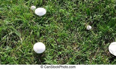 Edible white mushrooms growing in meadow - Edible white...