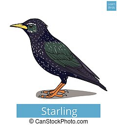 educacional, jogo, vetorial, starling, aprender, pássaros