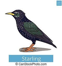 educativo, juego, vector, estornino, aprender, aves