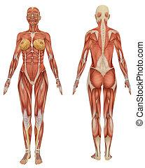 educativo, molto, muscolare, anatomia, femmina, fronte, vista posteriore