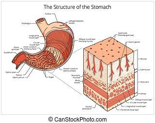 educativo, vector, estómago, médico, estructura