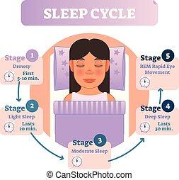 educativo, vector, humano, stages., sano, ilustración, diagrama, infographic, sueño, cama, hembra, scheme., ciclo