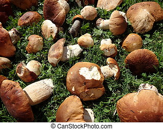 edulis, -, eßbarer pilz, steinpilze