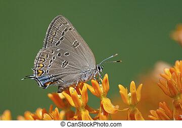 Edwards' Hairstreak nectaring on butterfly weed - Edwards'...