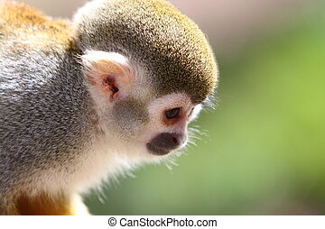 eekhoorn aap