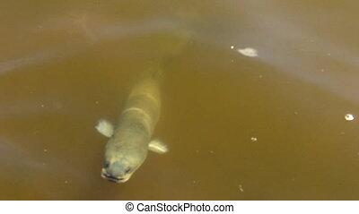 Eel fish swim in pond