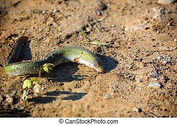 Eel - Freshwater eel - Eel caught on the shore