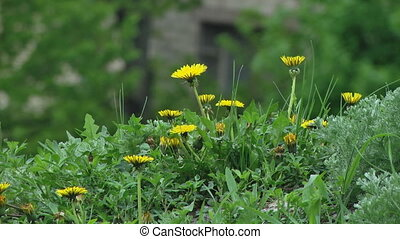 Eellow Flowers in Green Grass - Chamomile flowers close up....